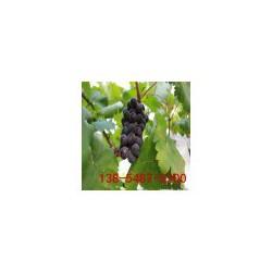 专业葡萄树苗培育基地 南北方种植 巨峰葡萄苗 成活率高