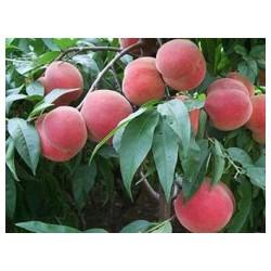 大棚油桃品种-口碑好的大棚桃树新品种优选乐义苗木