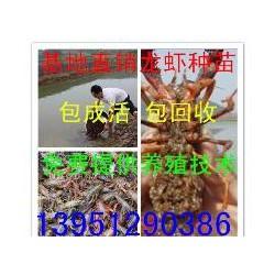 扬州小龙虾苗价格扬州龙虾苗养殖基地
