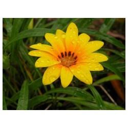 太阳花市场行情资讯,太阳花种植