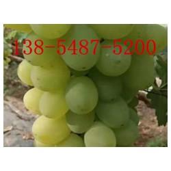基地直销葡萄苗、嫁接葡萄苗、优质葡萄苗报价