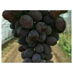秦皇岛卓越玫瑰葡萄苗-品种好的卓越玫瑰葡萄苗出售
