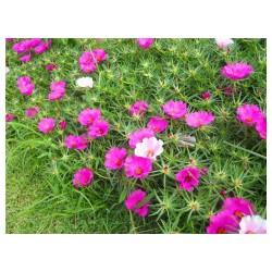 【千朵万朵压枝低】——太阳花哪里有#太阳花供货商#东骏